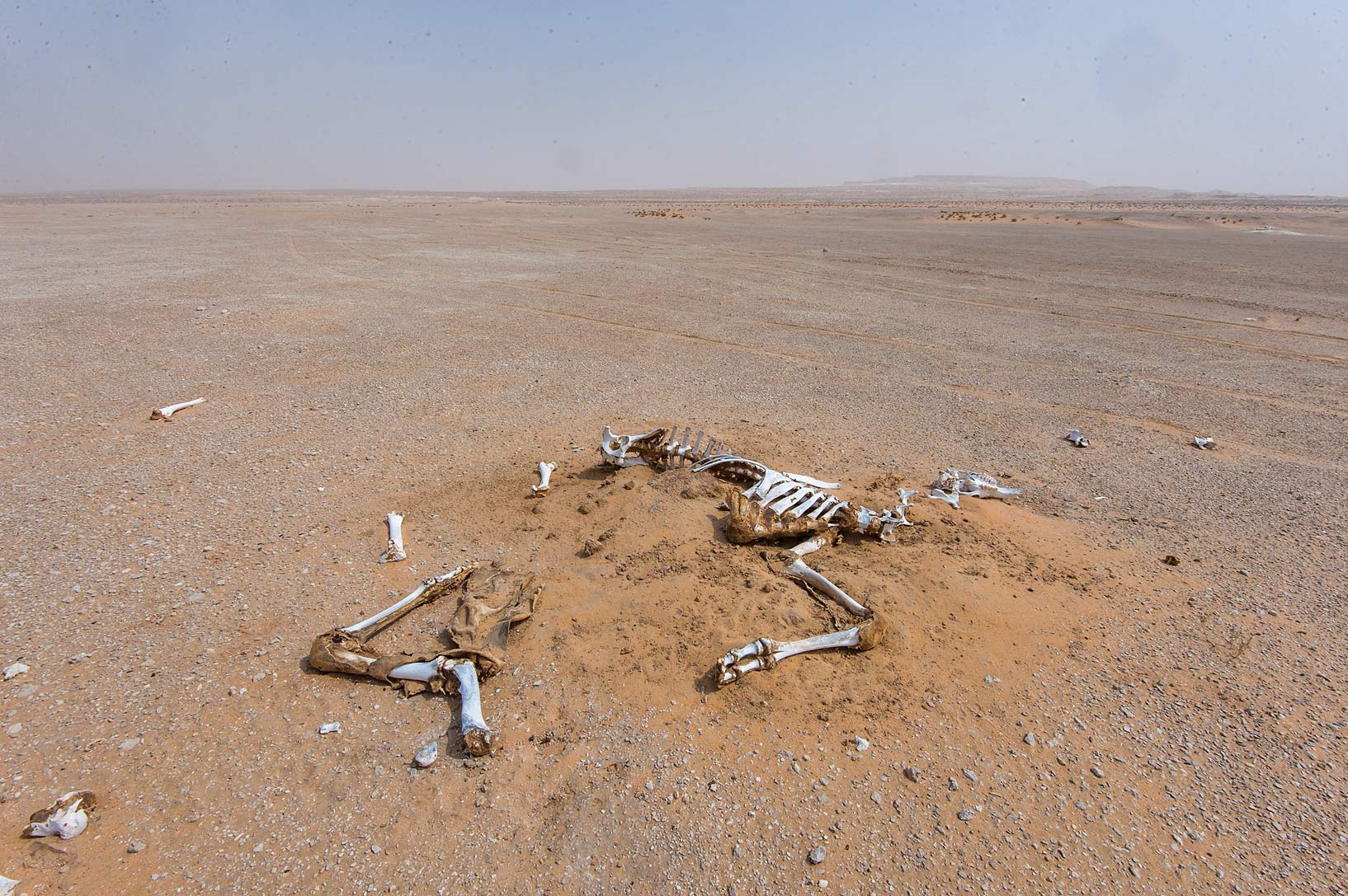 Dead camel south-east from Abu Samra in area of Maszhabiya (Al Mashabiya). Southern Qatar