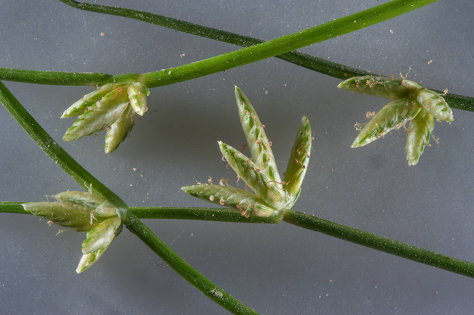 Compact heads with spikelets growing sideways of...Reserve near Abu Samra. Southern Qatar