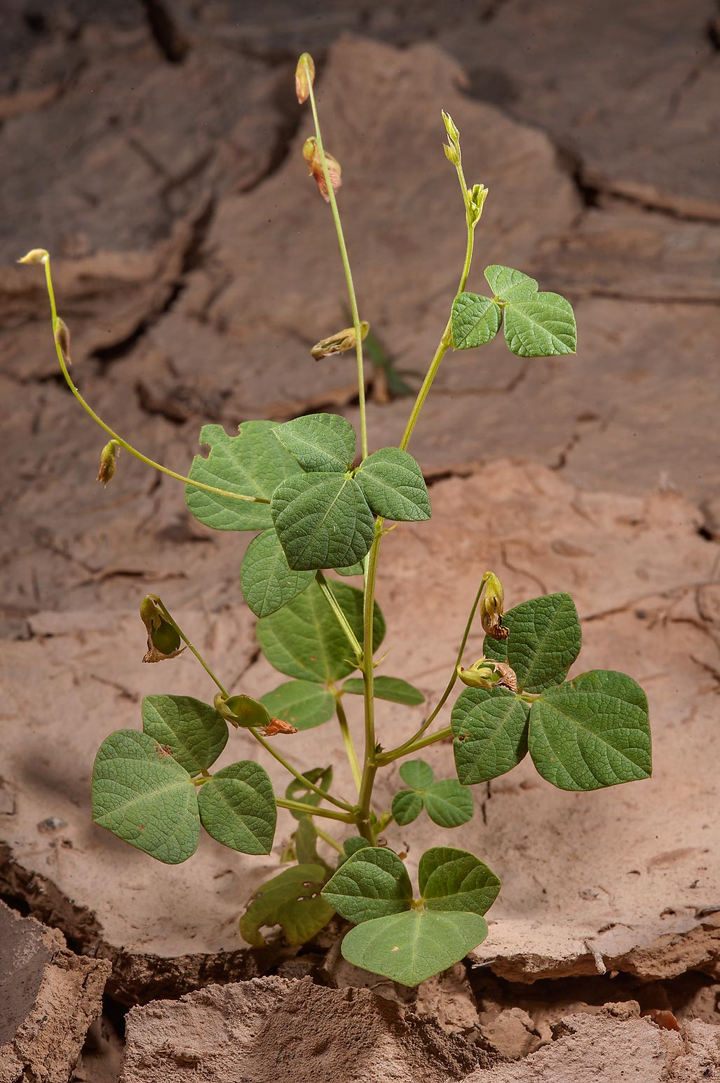 Seedling of least snout-bean (Rhynchosia minima...of Al Magdah farms. Northern Qatar