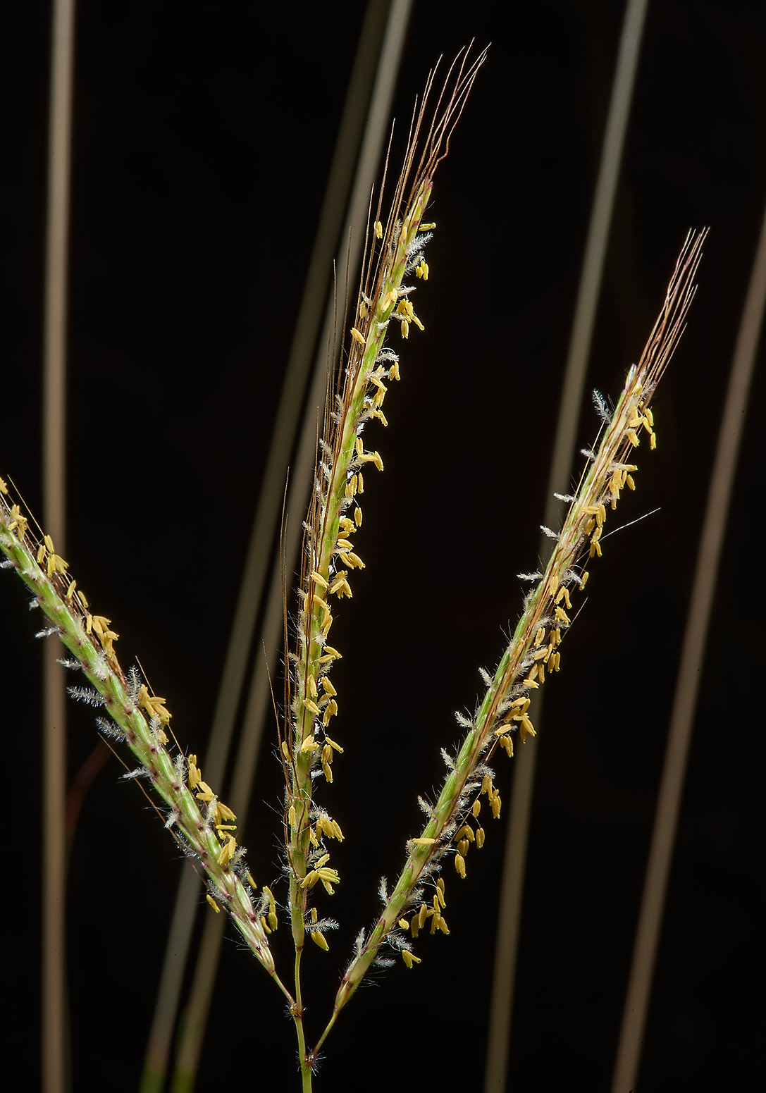 Blooming Hindi grass (Diaz bluestem, Dichanthium...of Al Magdah farms. Northern Qatar