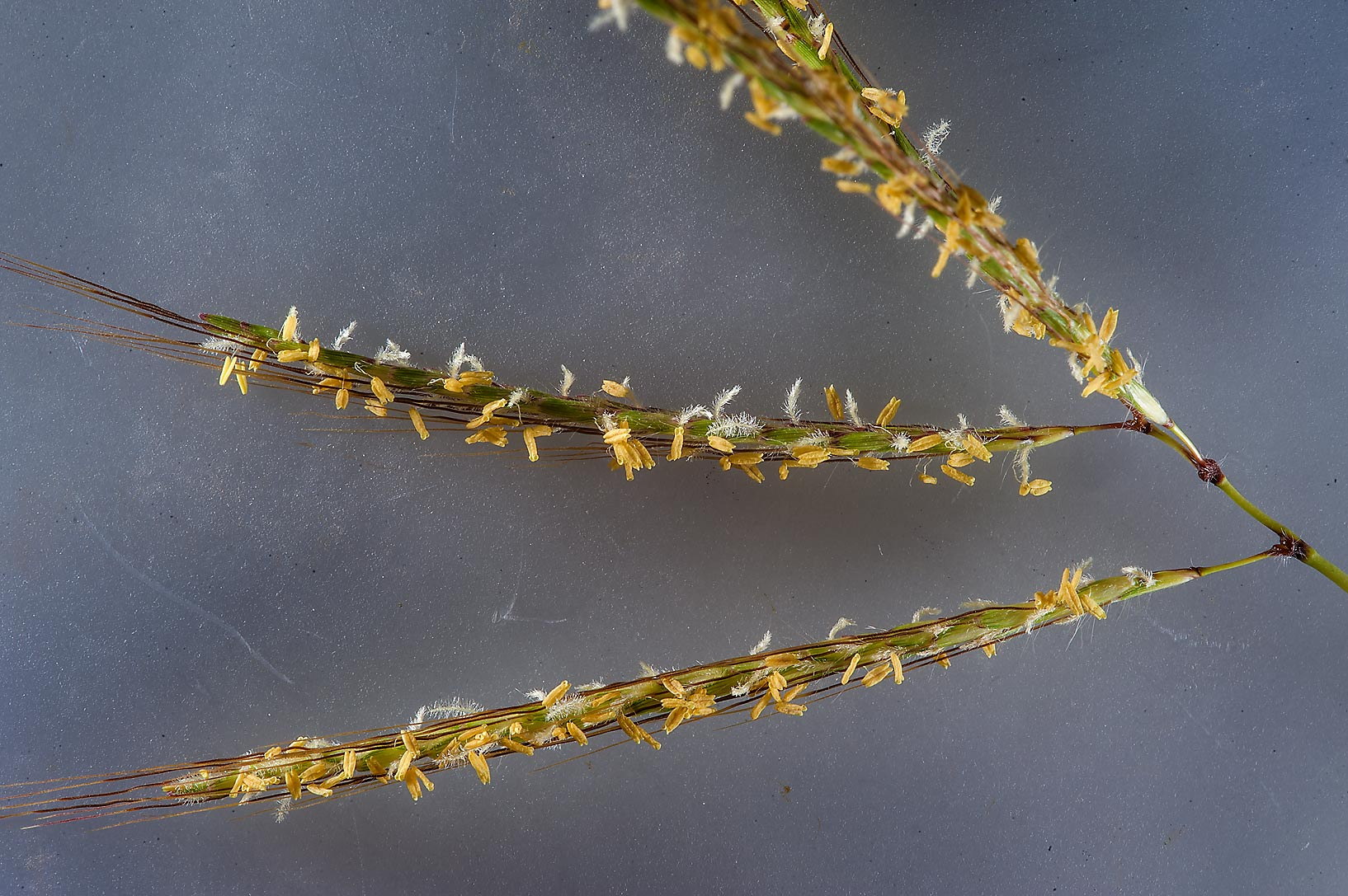 Close up of a spikelet of Hindi grass (Diaz...of Al Magdah farms. Northern Qatar
