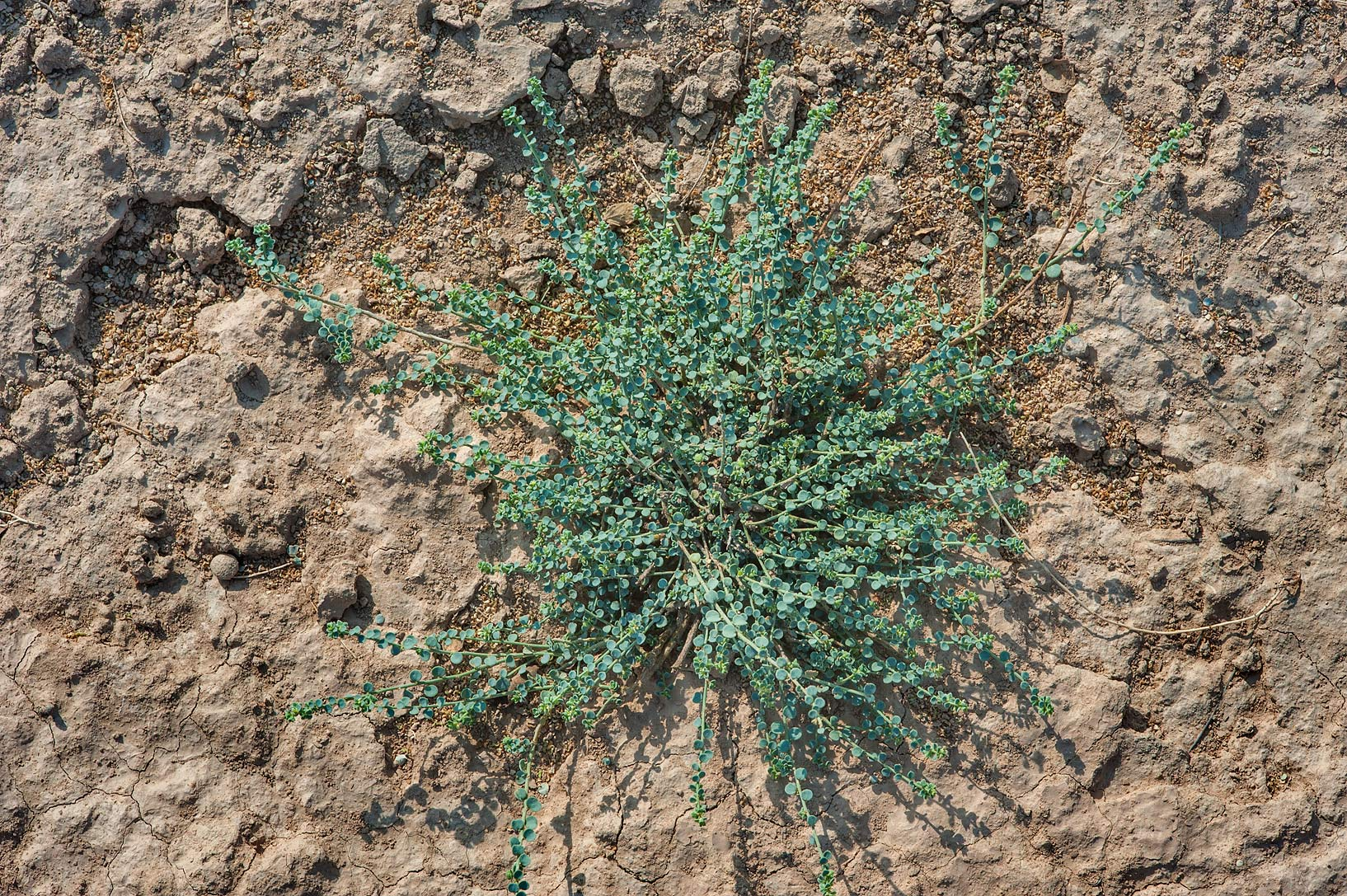 Desert plant Andrachne telephioides in a silty...Nuaman (Numan) in north-western Qatar
