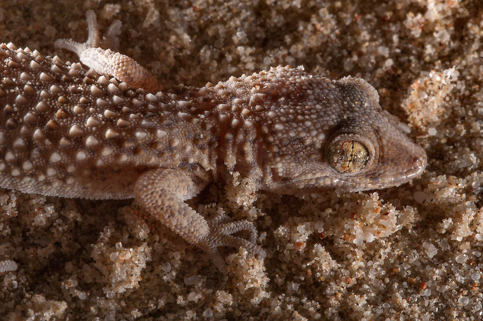 Side view of Button-scaled gecko (Bunopus...Resort near Mesaieed. Southern Qatar