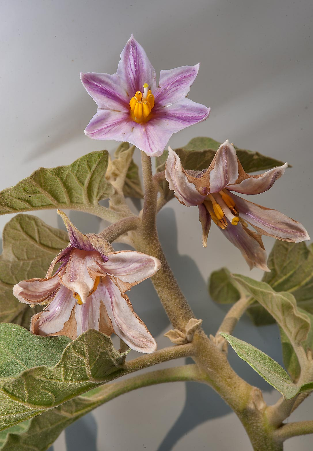 Blooming eggplant (Solanum melongena) near a...between Mesayeed and Harrarah. Qatar
