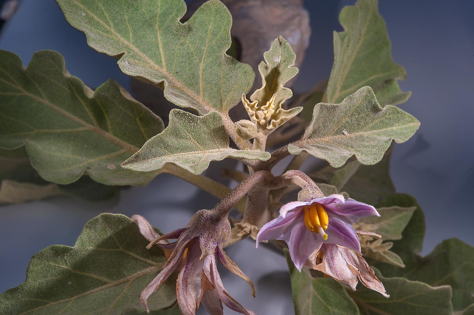 Eggplant (Solanum melongena) with flowers near a...between Mesayeed and Harrarah. Qatar