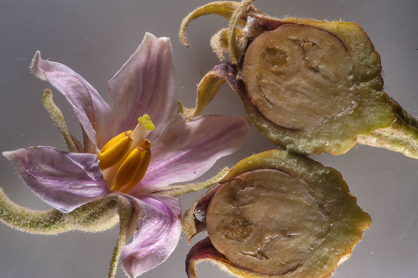 Flower and a dissected ovary of eggplant (Solanum...between Mesayeed and Harrarah. Qatar