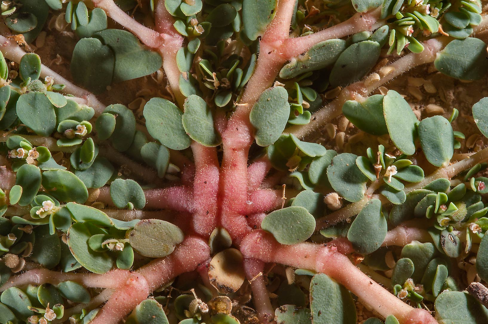Hub of stems of spurge Euphorbia granulata in a...of Al Magdah farms. Northern Qatar