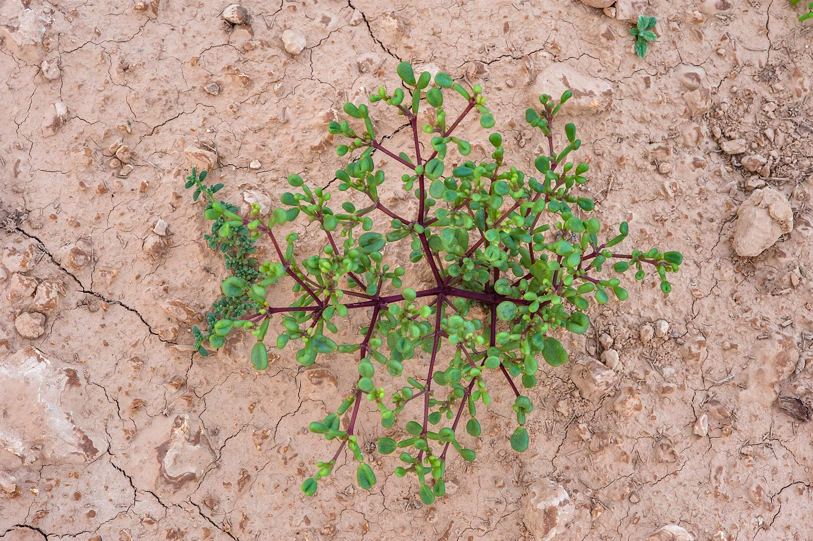 Seedling of Tetraena qatarense (Zygophyllum...of Al Magdah farms. Northern Qatar