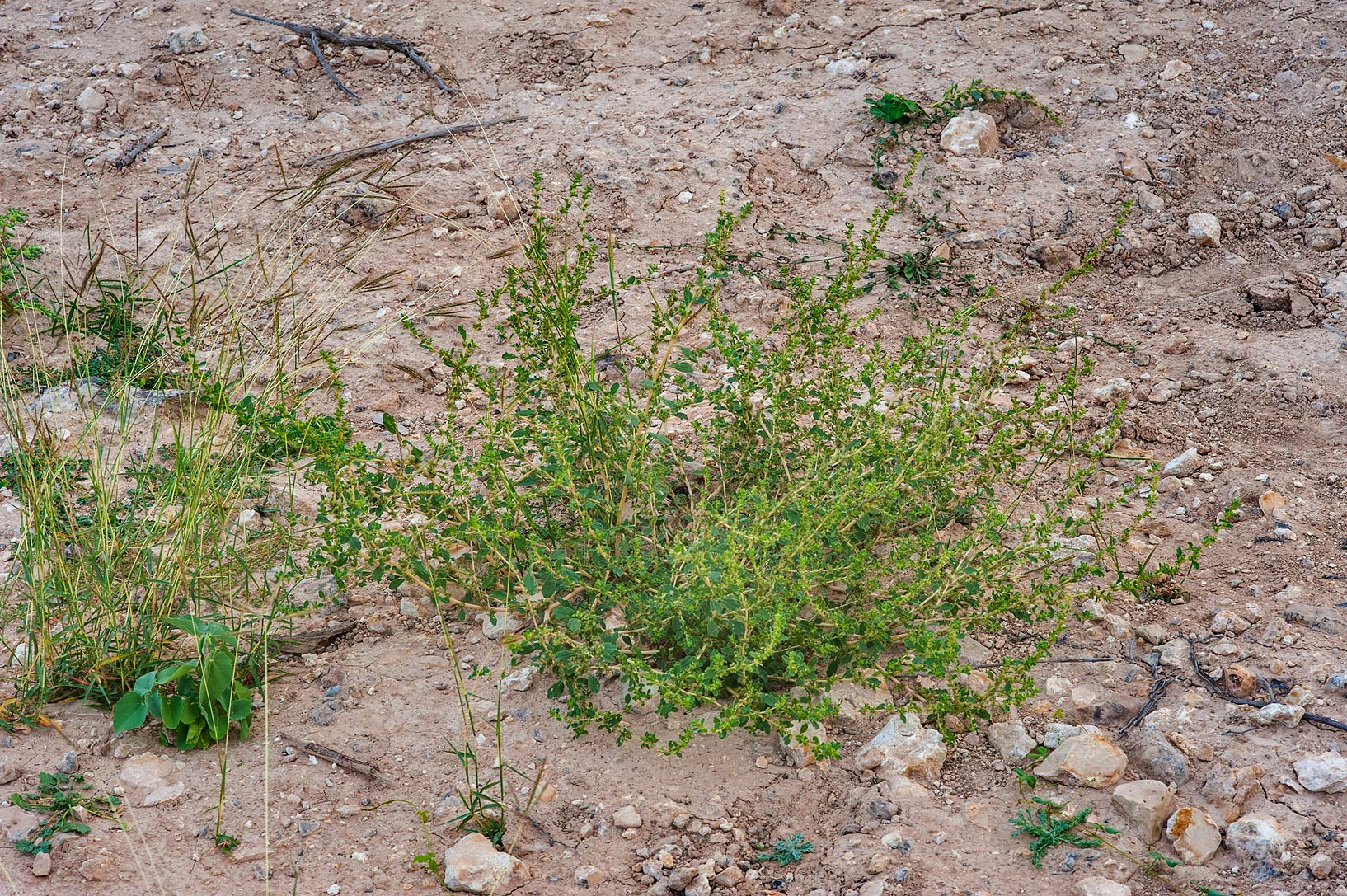 Common tumbleweed (Amaranthus albus) in a...of Al Magdah farms. Northern Qatar