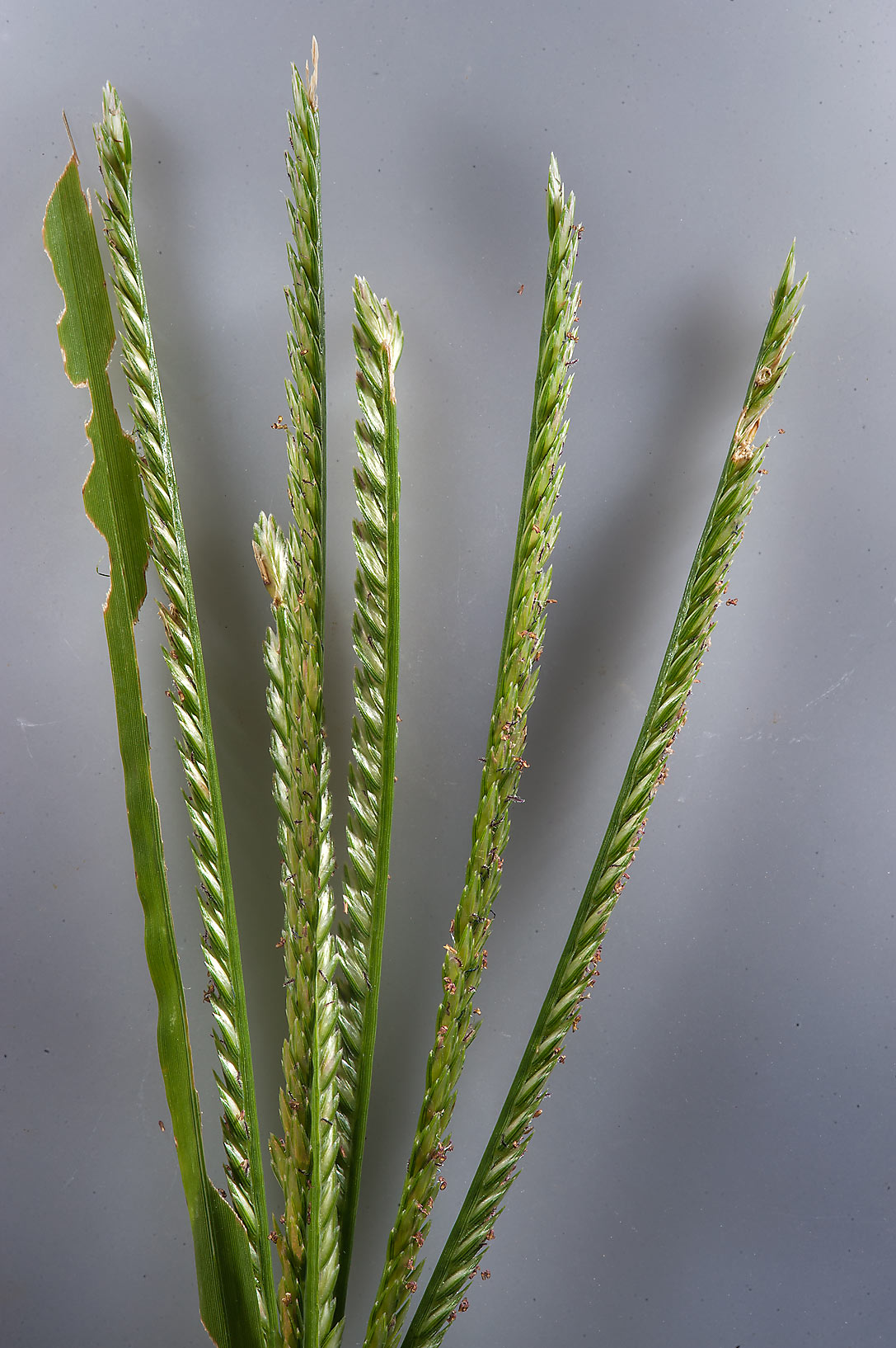 Spikelet of goosegrass (finger millet, Eleusine...in Irkhaya (Irkaya) Farms. Qatar