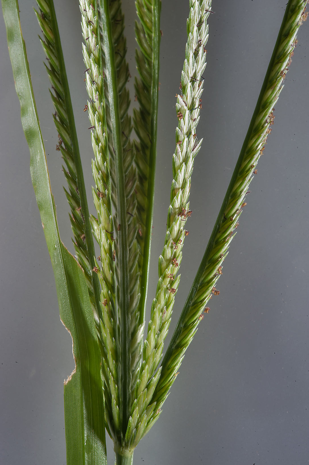 Close up of goosegrass (finger millet, Eleusine...in Irkhaya (Irkaya) Farms. Qatar