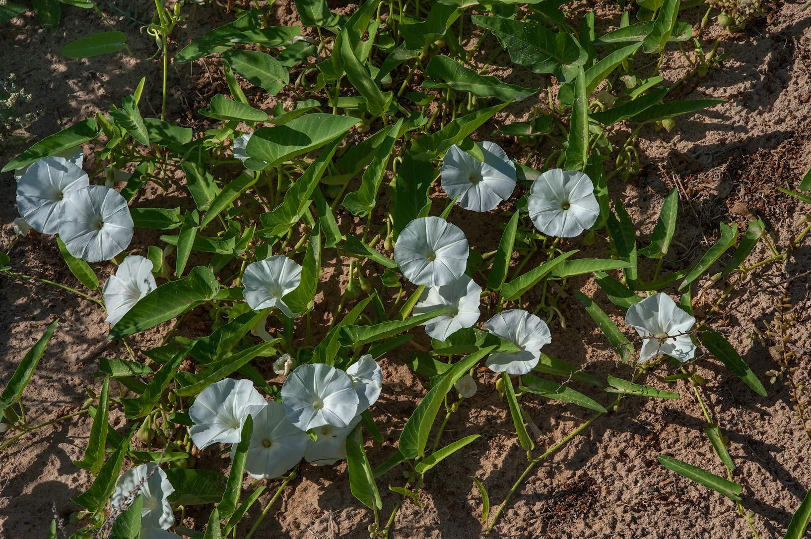 Blooming water morning glory (water spinach...Jeri Al Ramli). Al Khor, Qatar