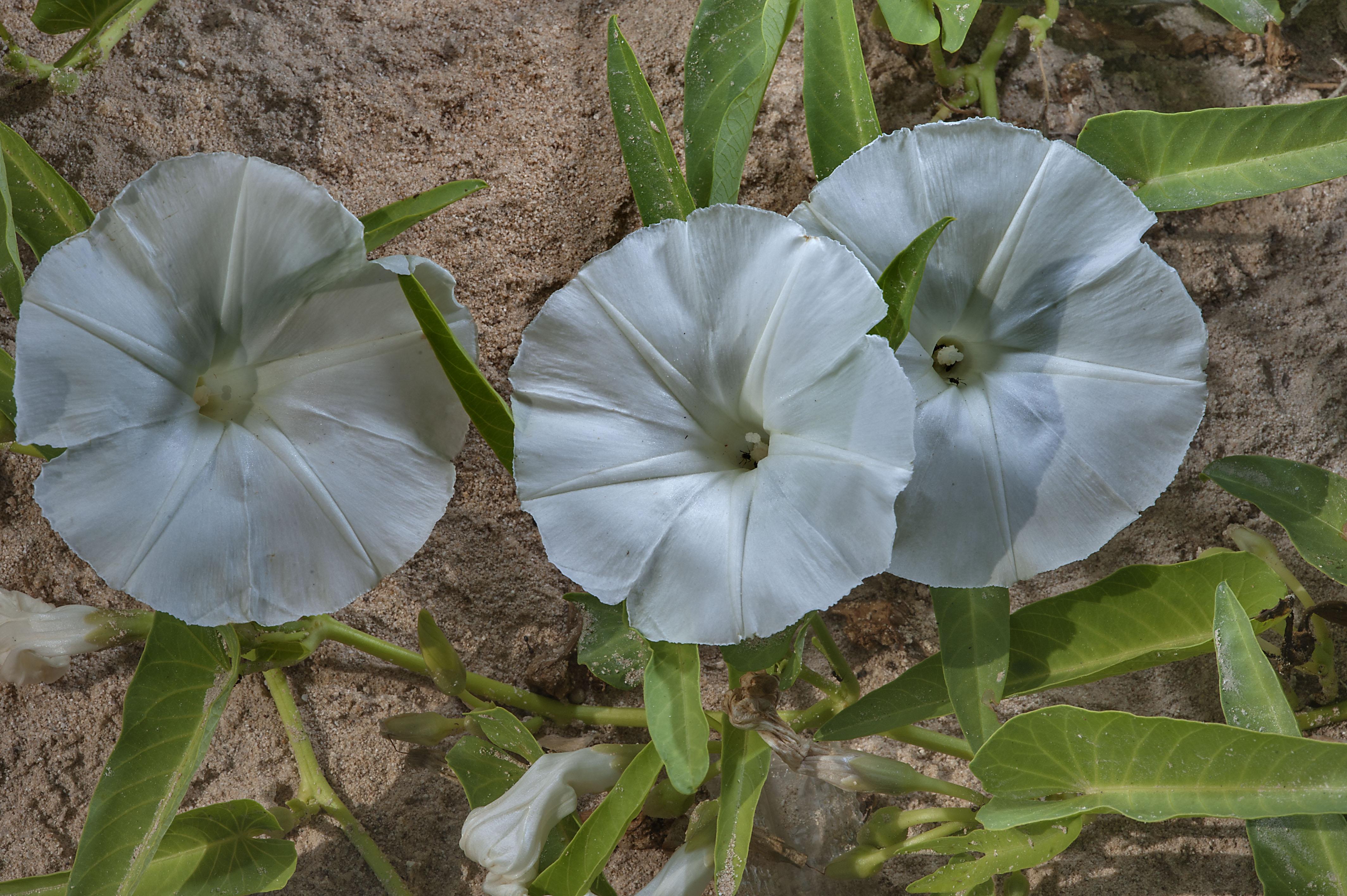 Photo 1689 12 Three White Flowers Of Water Morning Glory Water