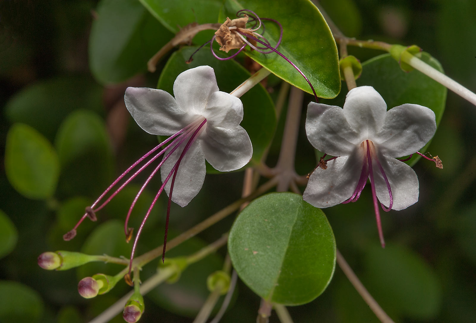 Glory bower (Volkameria inermis, Clerodendrum...City Park. Ruwais, Northern Qatar