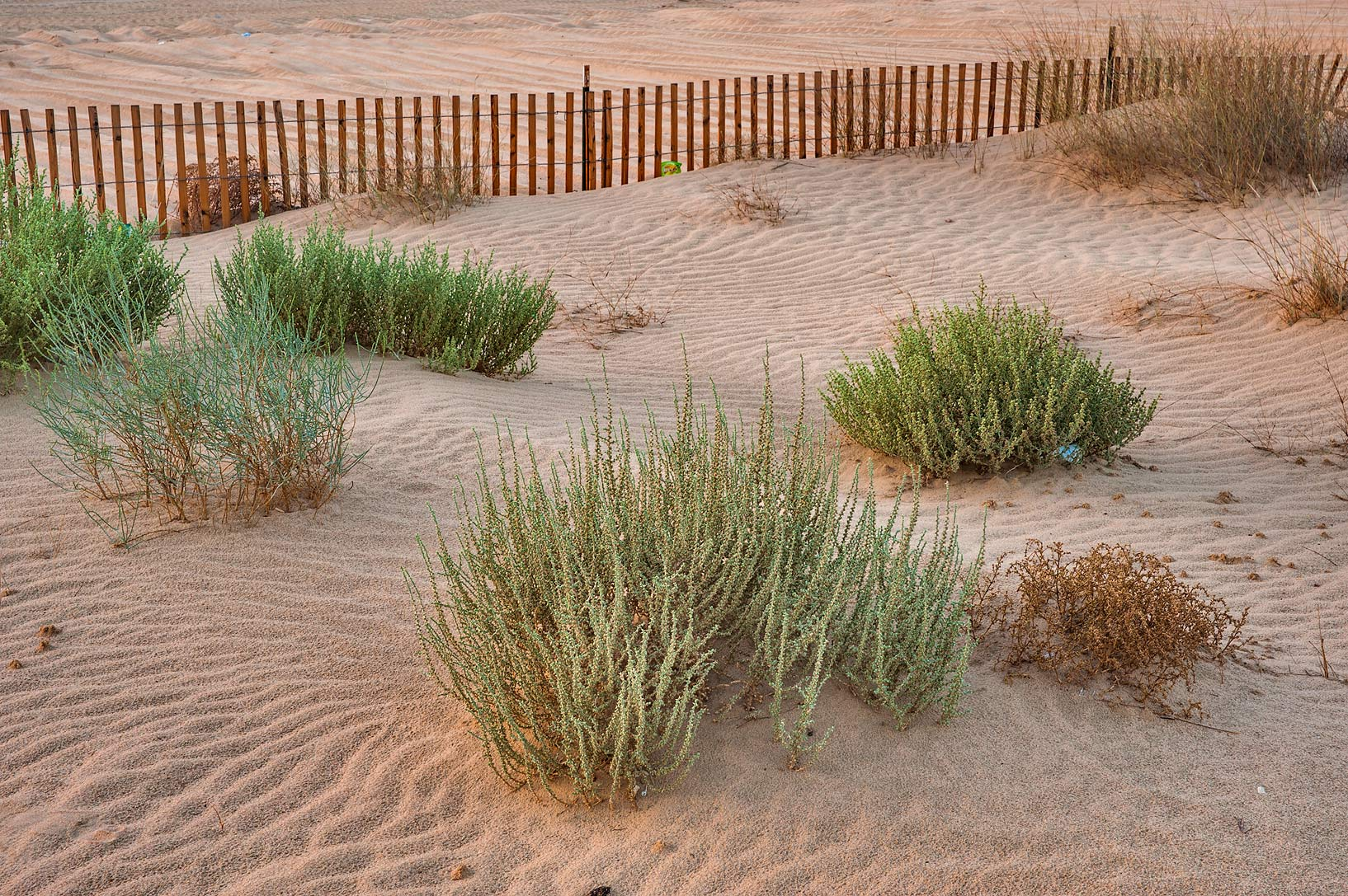 Various plants in windblown sand on roadside of...in area of Khashem Al Nekhsh. Qatar