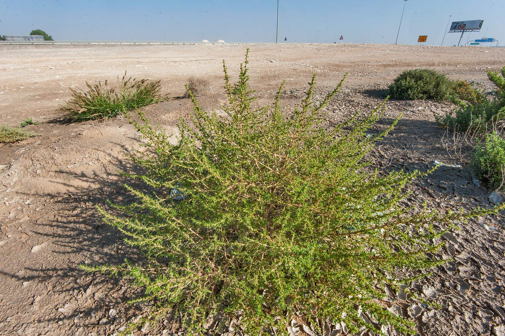 Common tumbleweed (Amaranthus albus) in a...of Salwa Rd. near Mukaynis. Qatar
