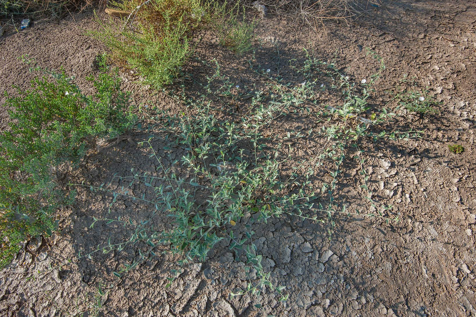 Seedlings of bindweed (Convolvulus glomeratus...of Salwa Rd. near Mukaynis. Qatar