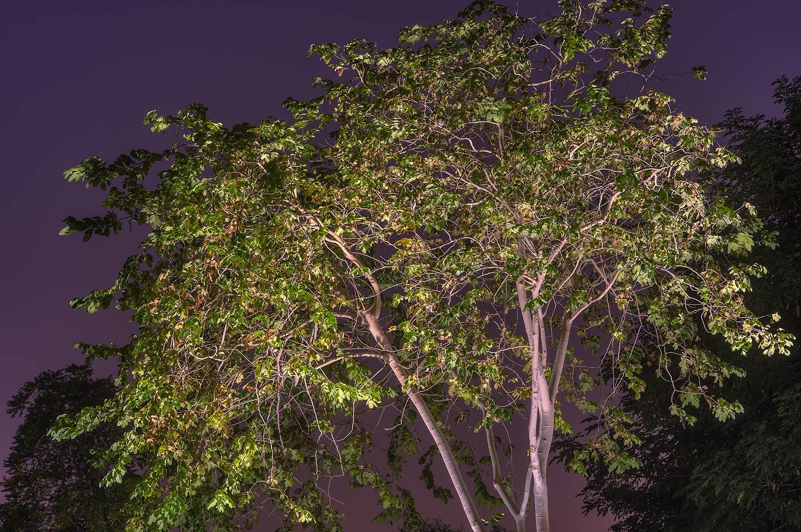 photo 169506 carob tree ceratonia siliqua in aspire