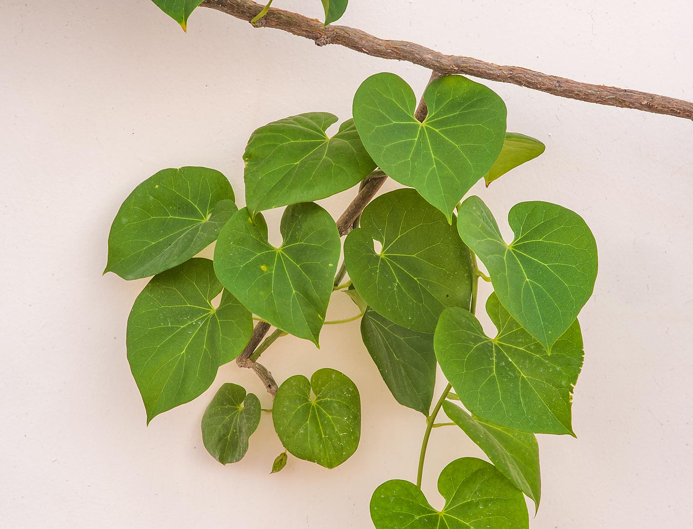 Large heart-shaped leaves of himber (Rajania...streets in Onaiza area. Doha, Qatar