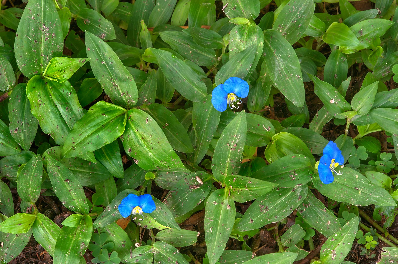 Flowers of Benghal dayflower (tropical spiderwort...Onaiza area near West Bay. Doha, Qatar