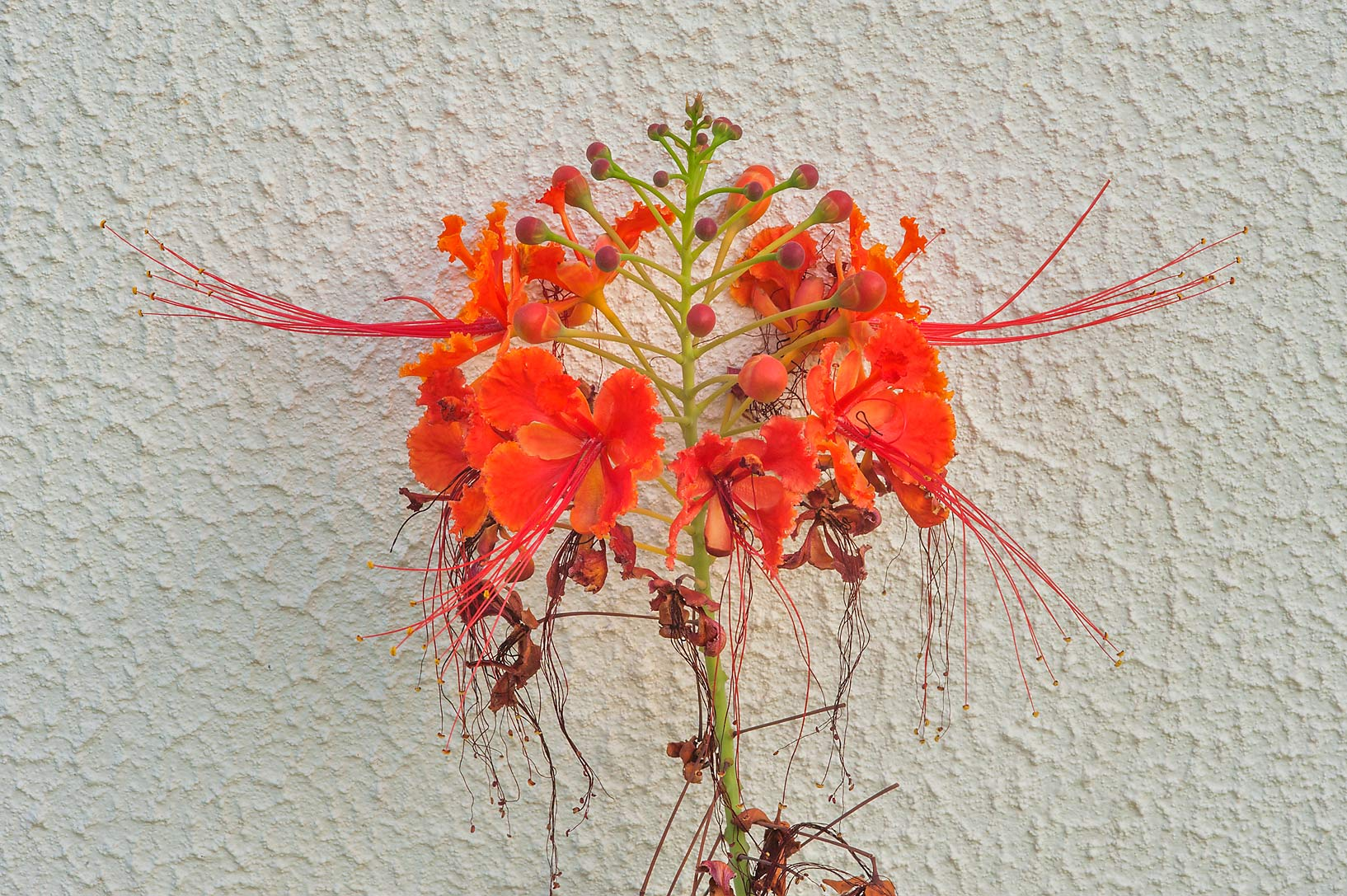 Peacock flower (Caesalpinia pulcherrima) in a...near a corner with Onaiza. Doha, Qatar