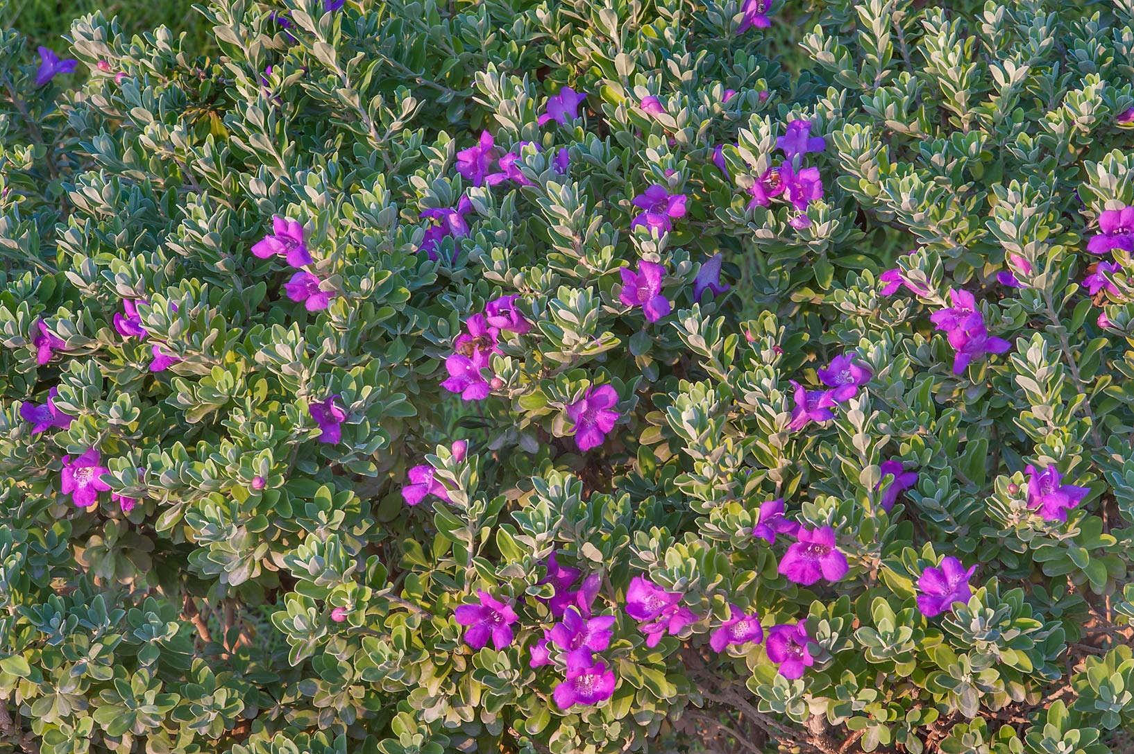 Cenizo (Leucophyllum frutescens) in a park at Al...near a corner with Onaiza. Doha, Qatar