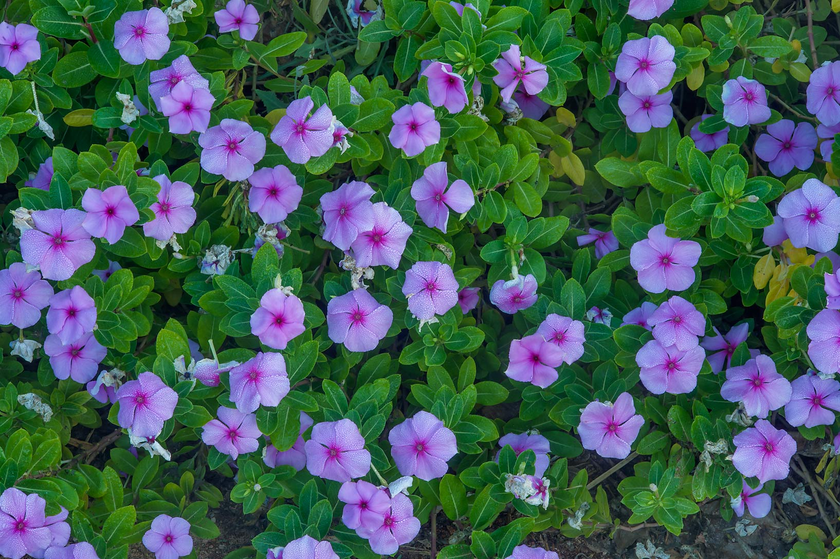 Vinca Vitesse Rose (Catharanthus roseus) in a...near a corner with Onaiza. Doha, Qatar