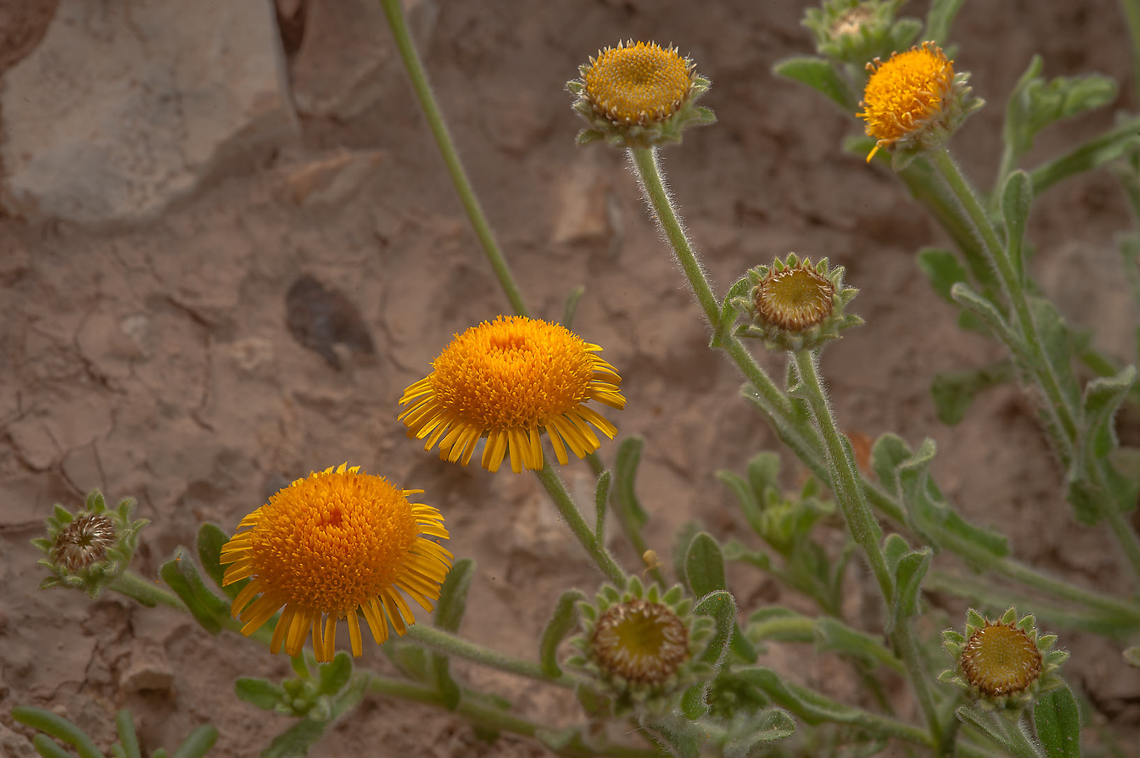 Yellow daisy like flowers of Pulicaria guestii in...from camel race track. Lekhraib, Qatar