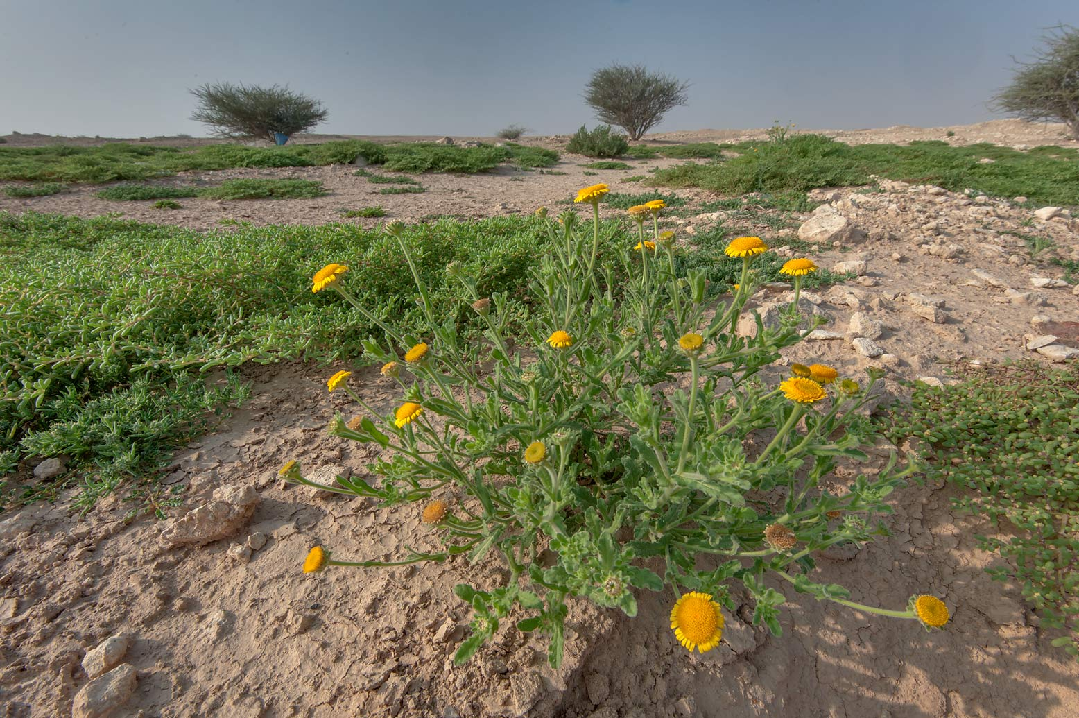 Plant of Pulicaria guestii with yellow flowers in...from camel race track. Lekhraib, Qatar