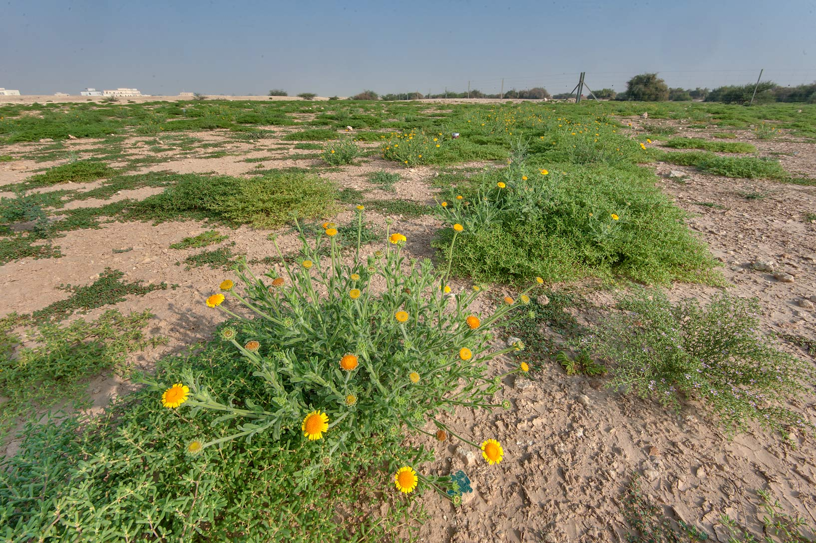 Pulicaria guestii among other green plants in...from camel race track. Lekhraib, Qatar