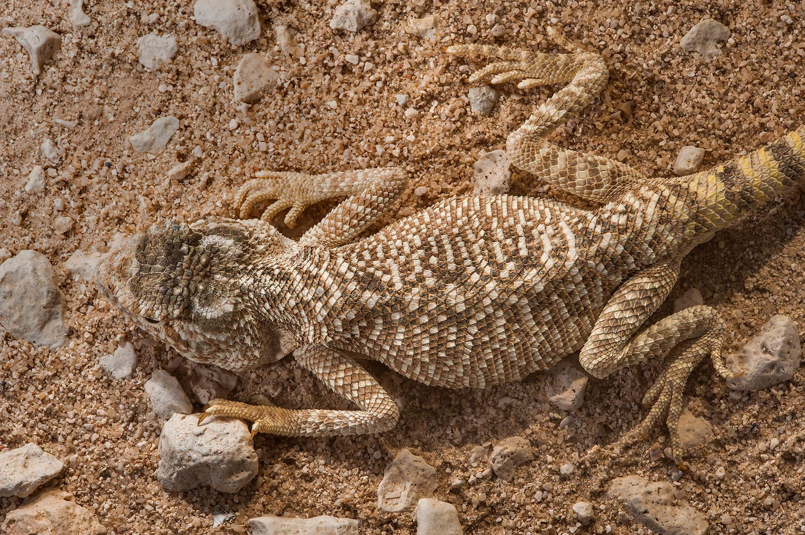Brown colored desert lizard yellow-spotted agama...Jarrah, north-east from Dukhan. Qatar