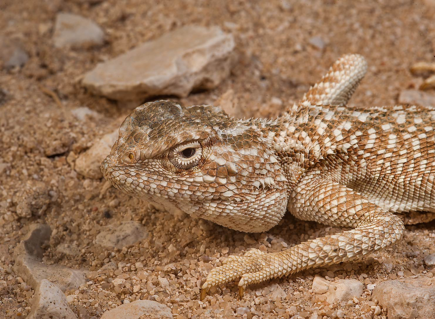Side view of desert lizard yellow-spotted agama...Jarrah, north-east from Dukhan. Qatar