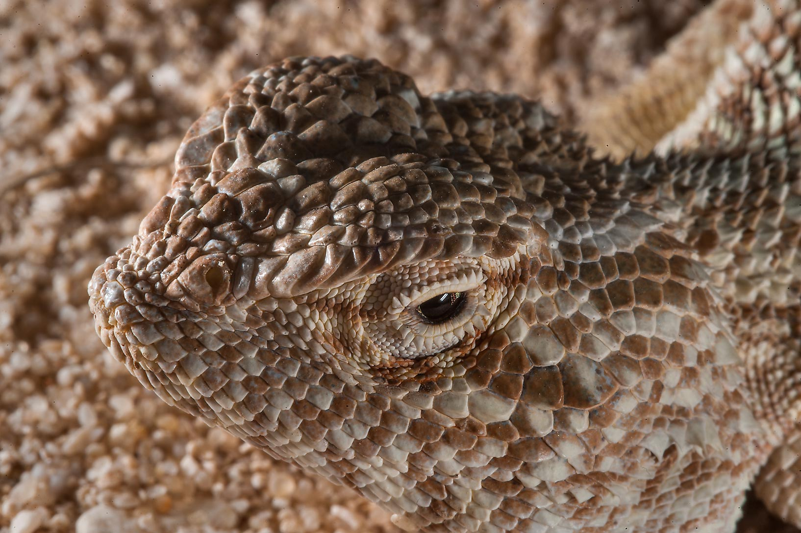Close up of a head of desert lizard yellow...Jarrah, north-east from Dukhan. Qatar