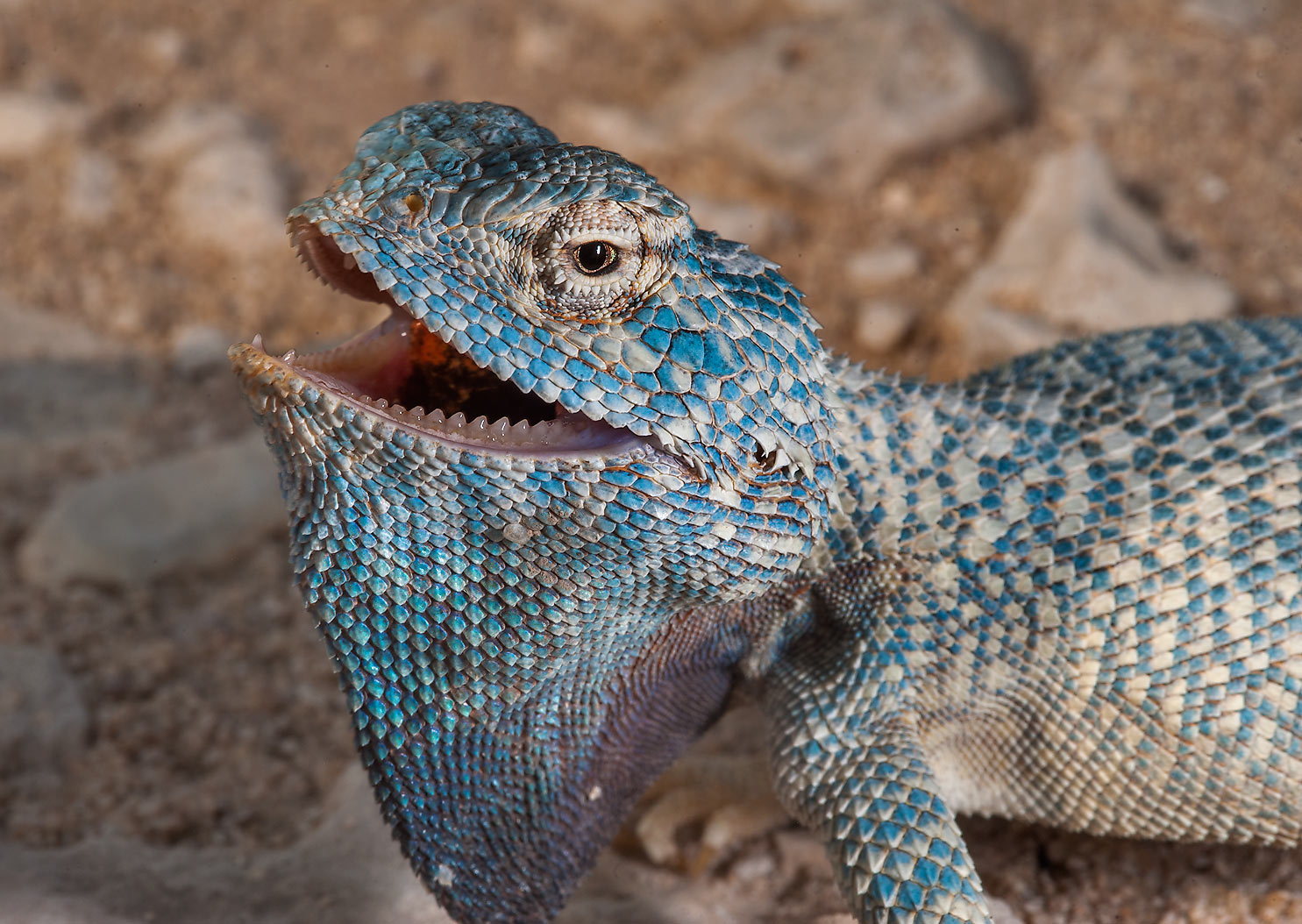 Blue colored disturbed desert lizard yellow...Jarrah, north-east from Dukhan. Qatar