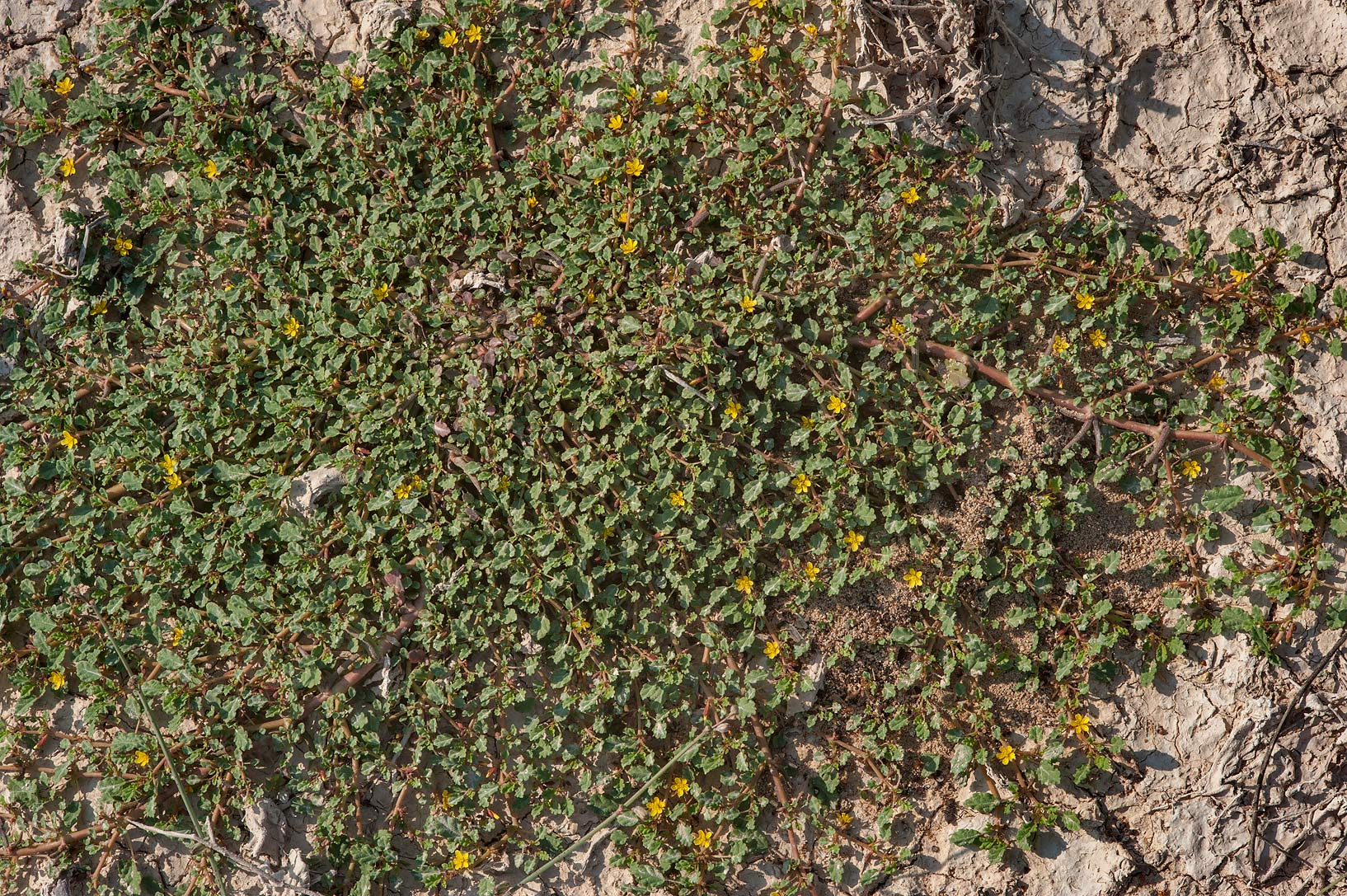 Mat of blooming Corchorus depressus on roadside of Dukhan Highway. Ash-Shahaniyah, Qatar