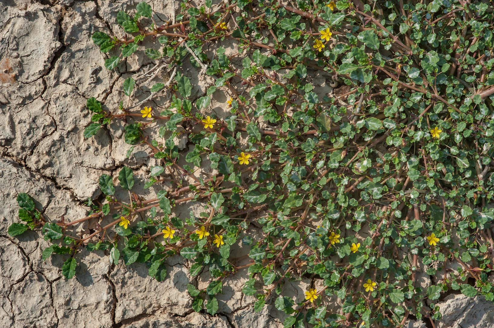 Mat of Corchorus depressus in flower on roadside of Dukhan Highway. Ash-Shahaniyah, Qatar