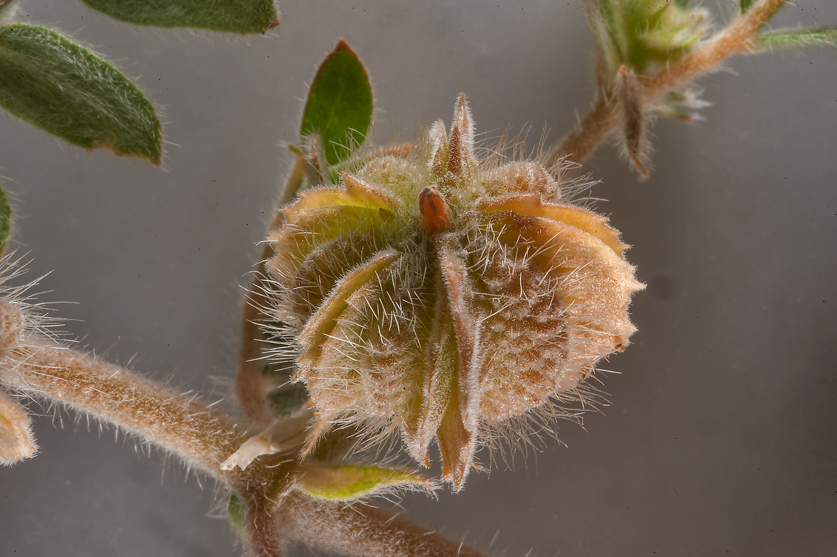 Hairy fruit of Tribulus macropterus taken from a...Highway in Ash-Shahaniyah. Qatar