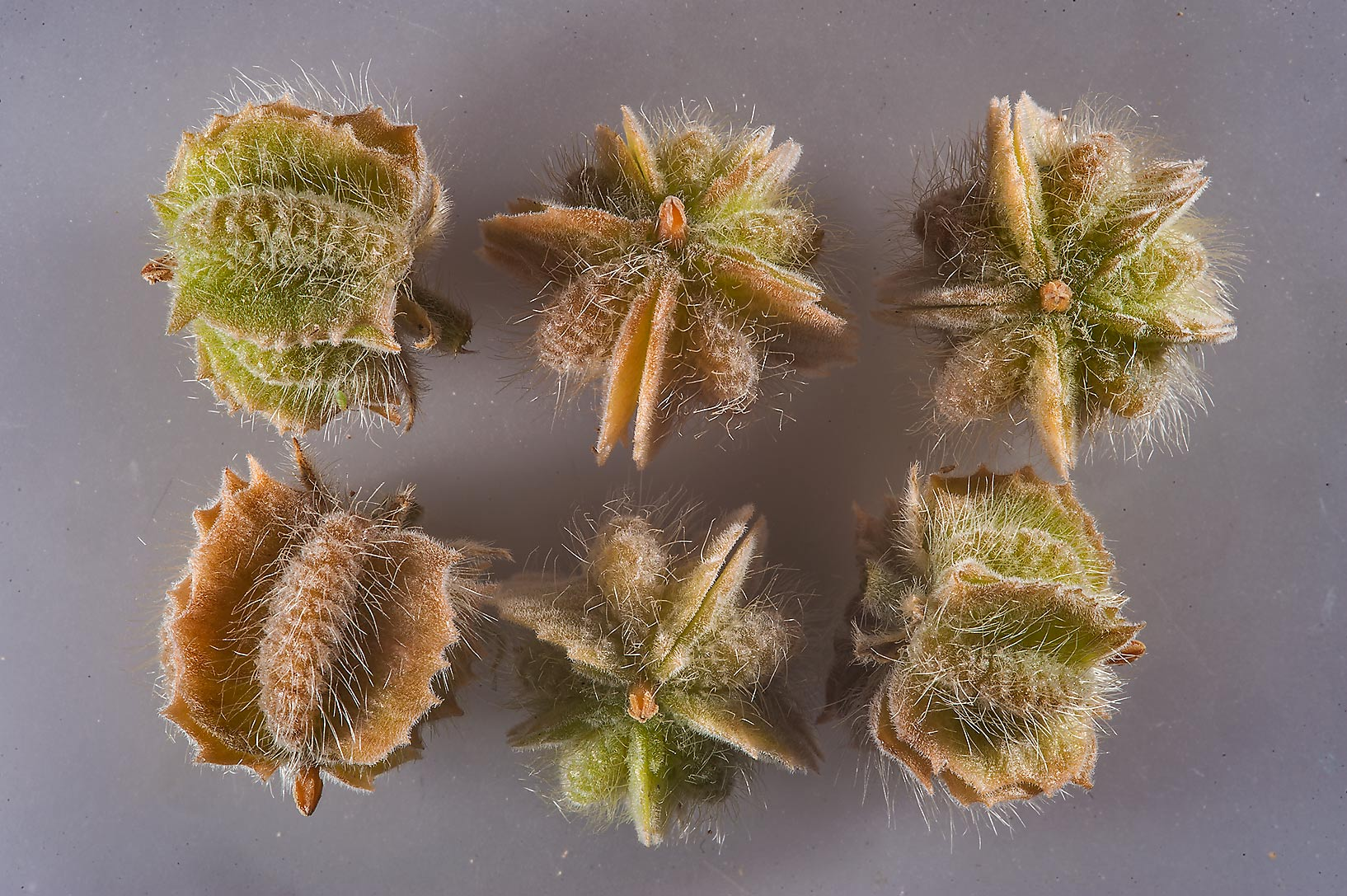 Fruits of Tribulus macropterus detached from the...Highway in Ash-Shahaniyah. Qatar