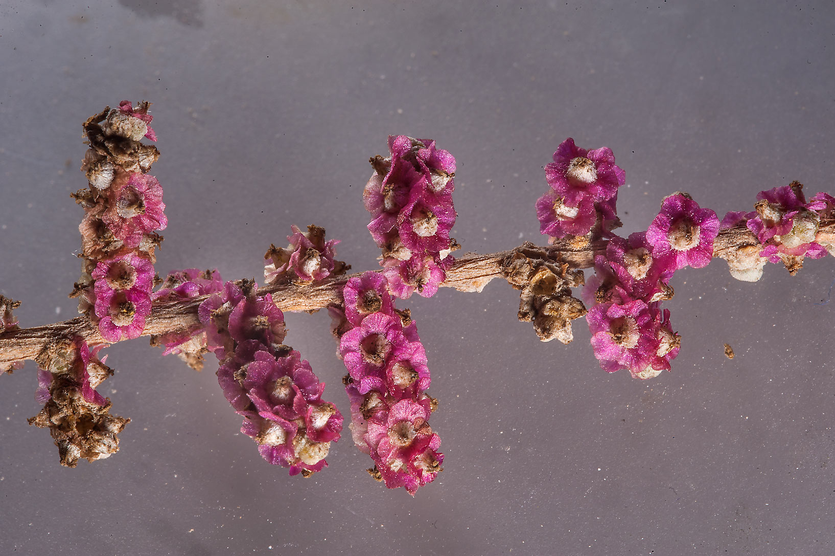 Salsola cyclophylla with pink winged fruits taken from northern Dukhan. Qatar