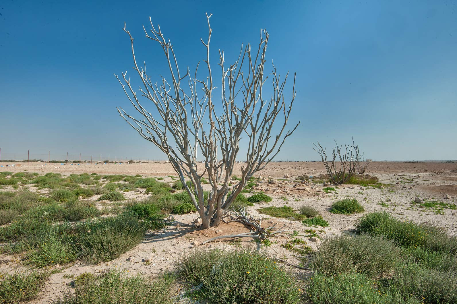 Dry trees in a roadside depression in Rawdat Rashed. Qatar
