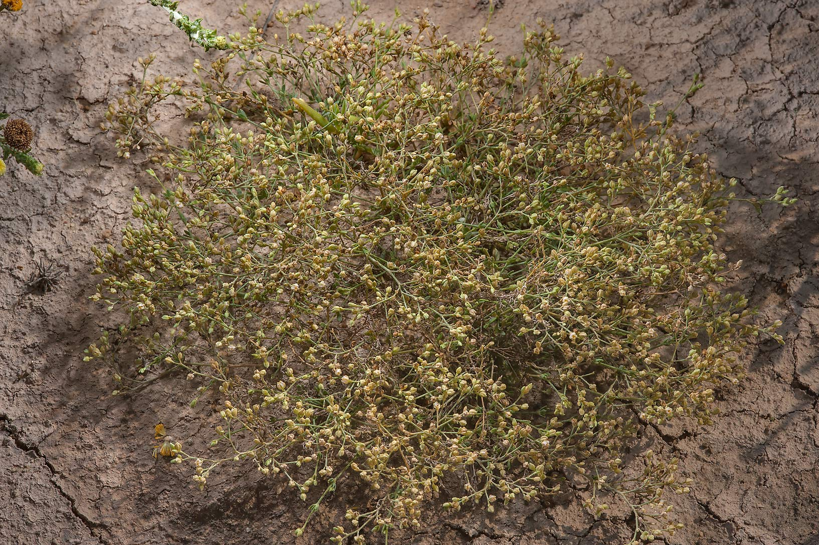 Small plant of Spergula fallax in a roadside depression in Rawdat Rashed. Qatar