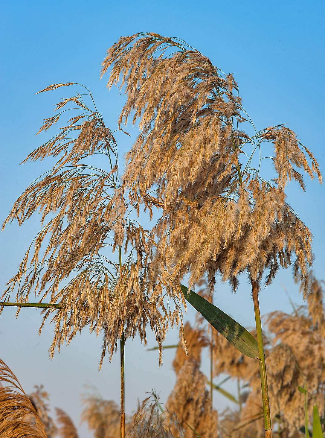 Panicle inflorescence (seed head) of common reed...in Irkhaya (Irkaya) Farms. Qatar