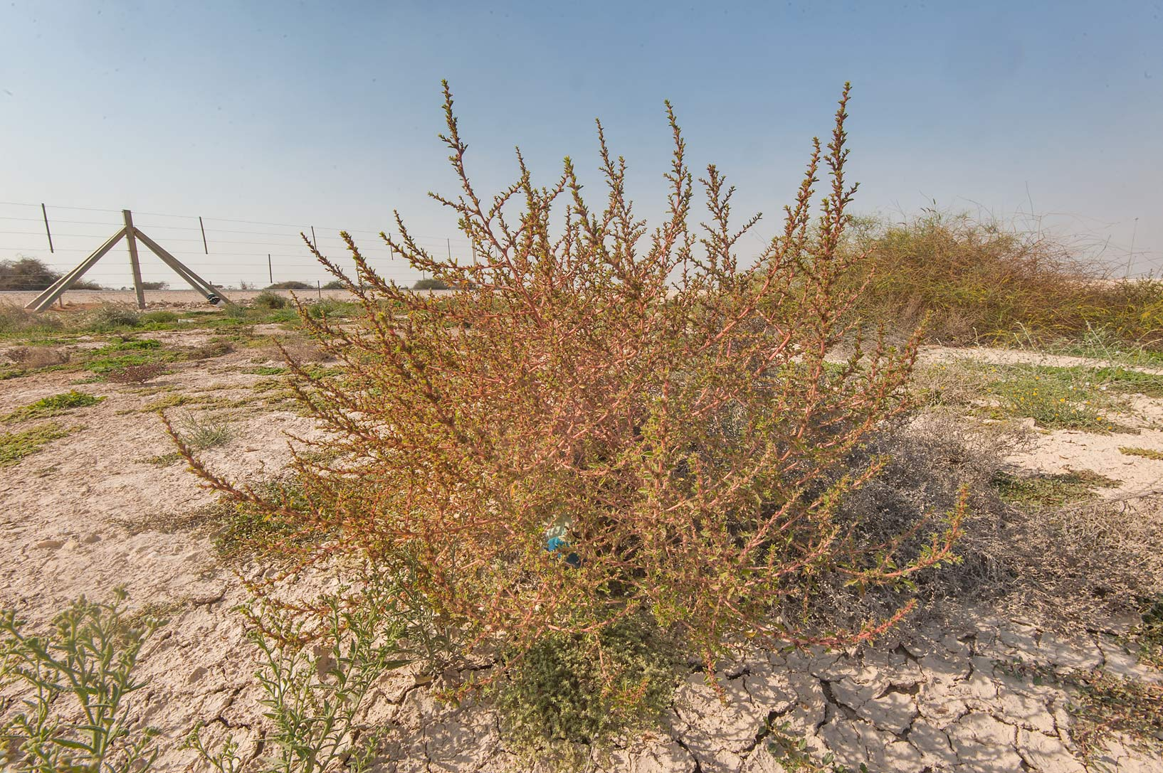Reddish plant of common tumbleweed (Amaranthus...Highway near Ash-Shahaniyah. Qatar