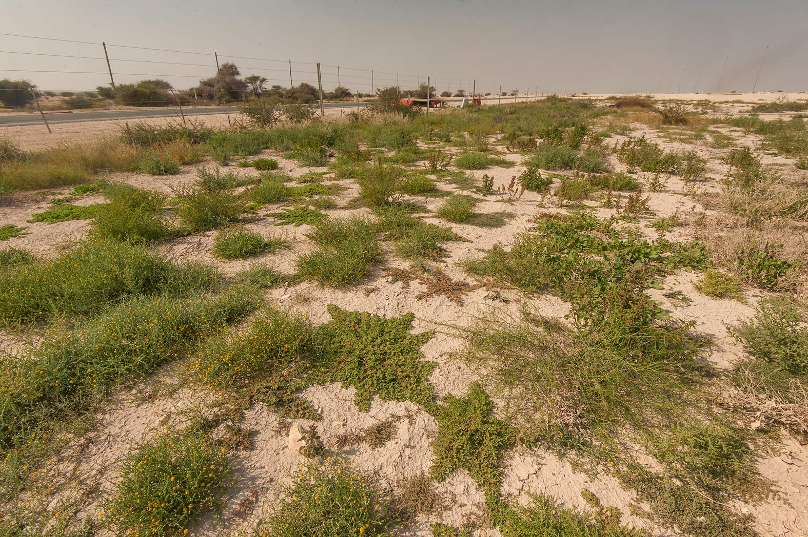 Fresh green plants growing after autumn rains on...Highway near Ash-Shahaniyah. Qatar