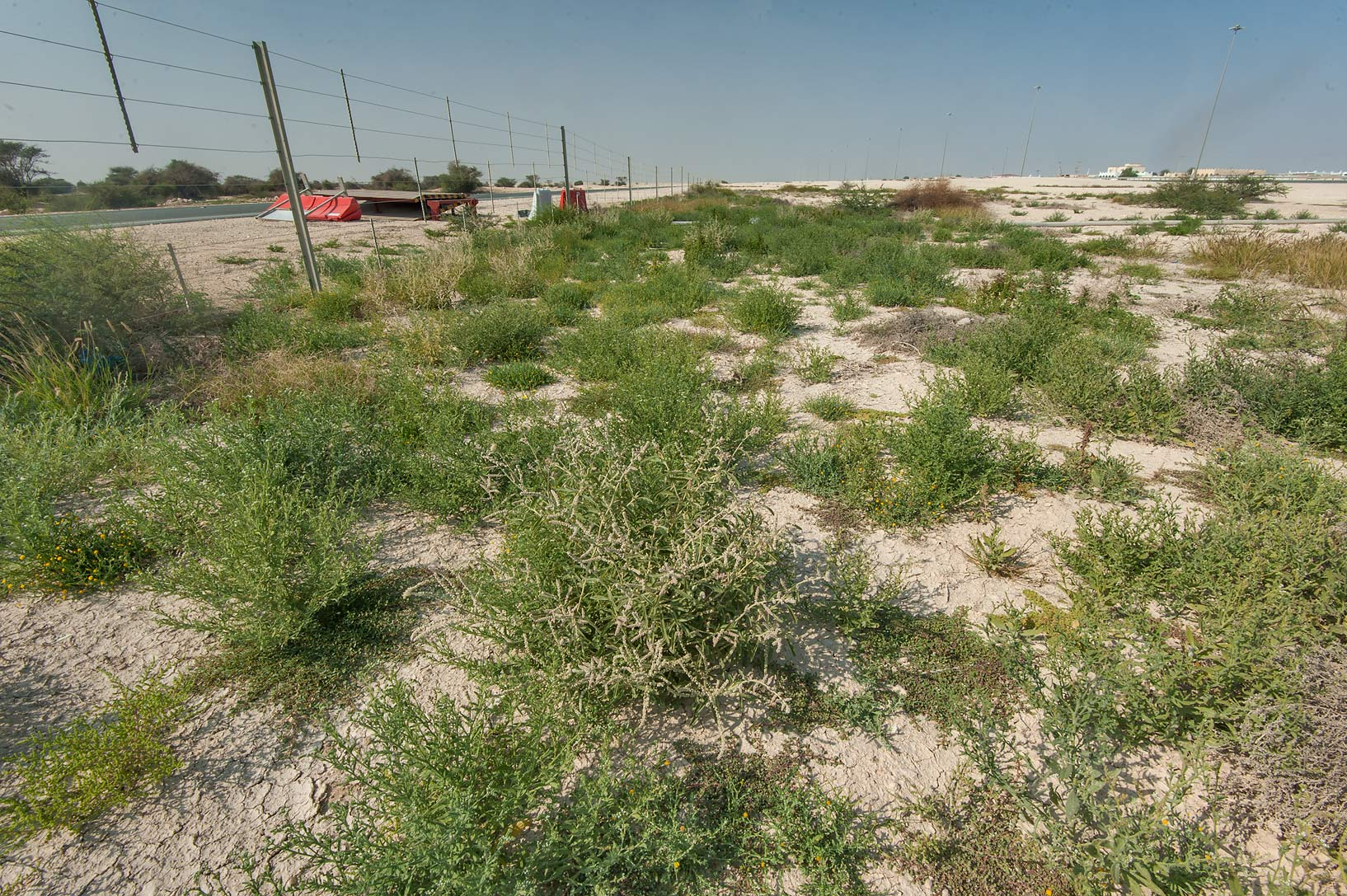 Fresh greenery after autumn rains on roadside of Dukhan Highway near Ash-Shahaniyah. Qatar