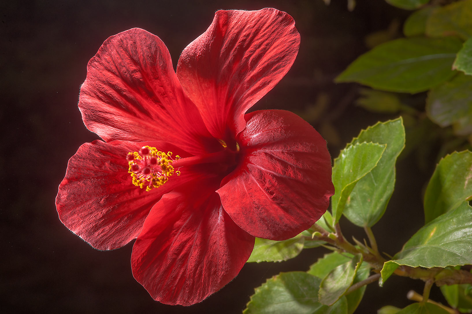 Red flower of China rose (Hibiscus rosa-sinensis...City Park. Ruwais, Northern Qatar