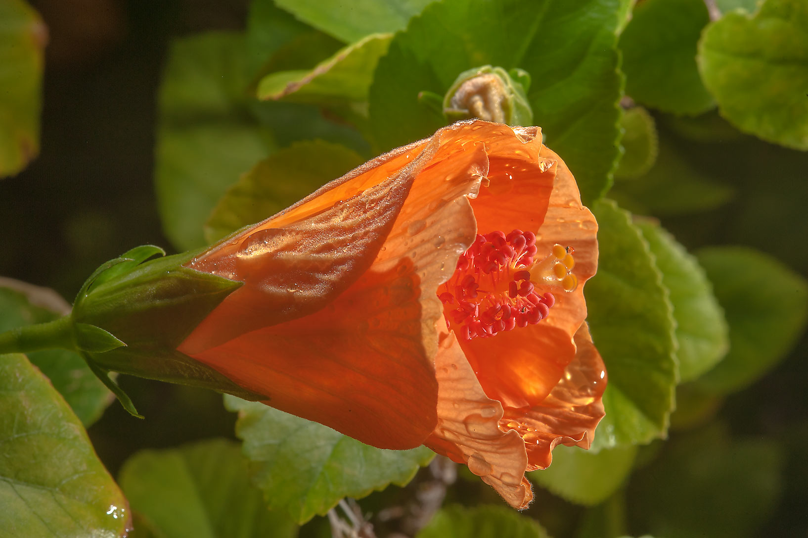 Orange half opened flower of China rose (Hibiscus...City Park. Ruwais, Northern Qatar