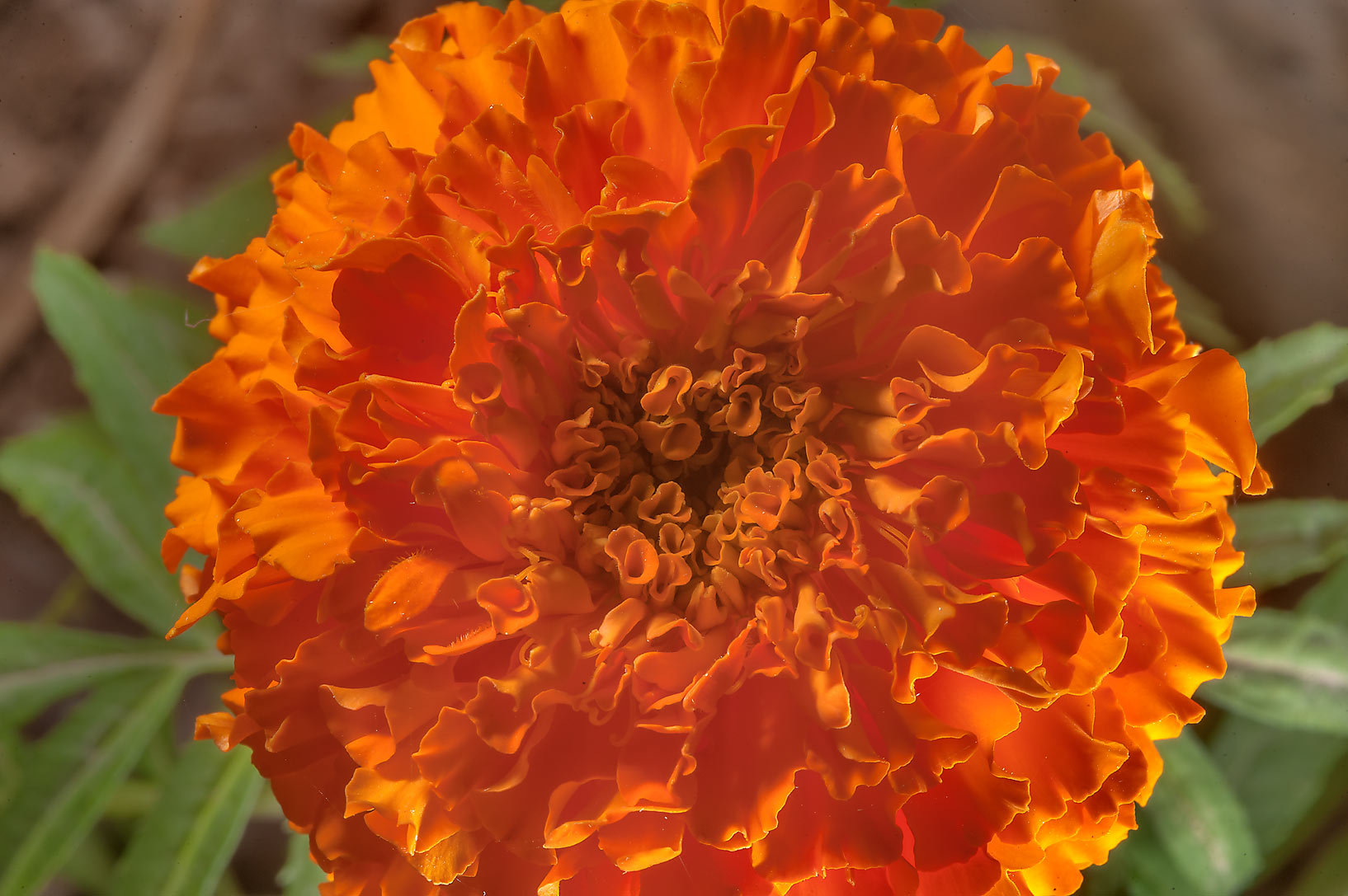 Mexican marigold (Tagetes erecta) flower planted...City Park. Ruwais, Northern Qatar