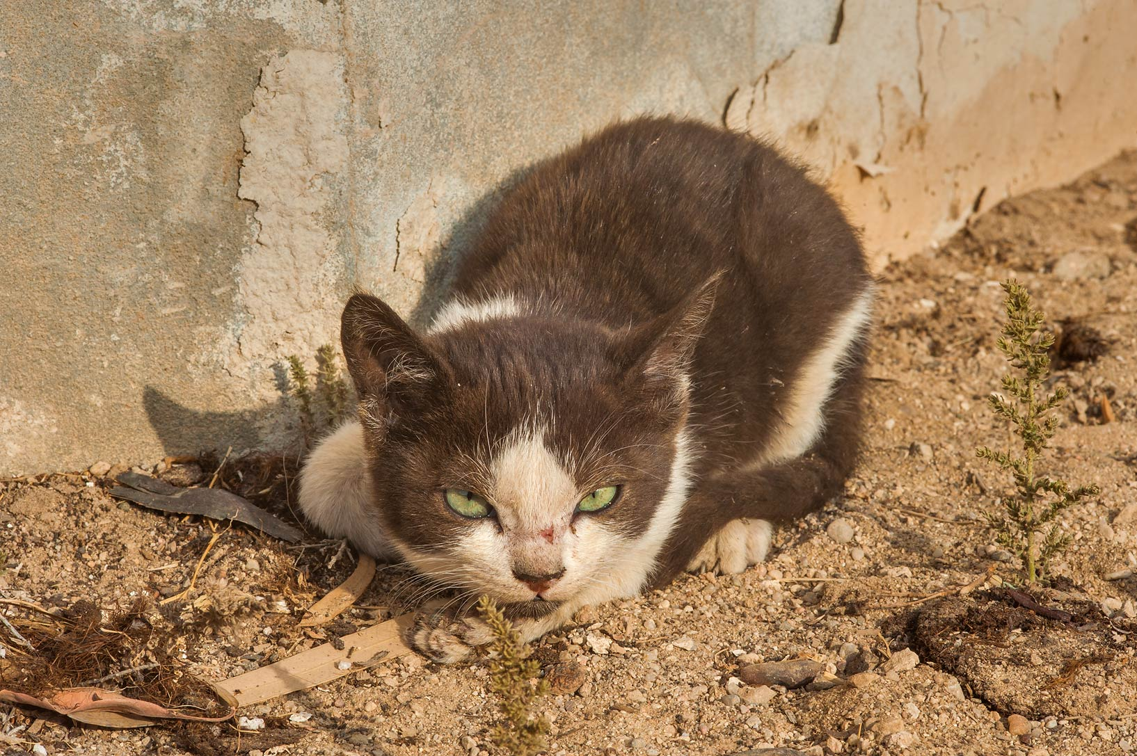 Tuxedo kitten near a stone wall in Al Shamal City Park. Ruwais, Northern Qatar