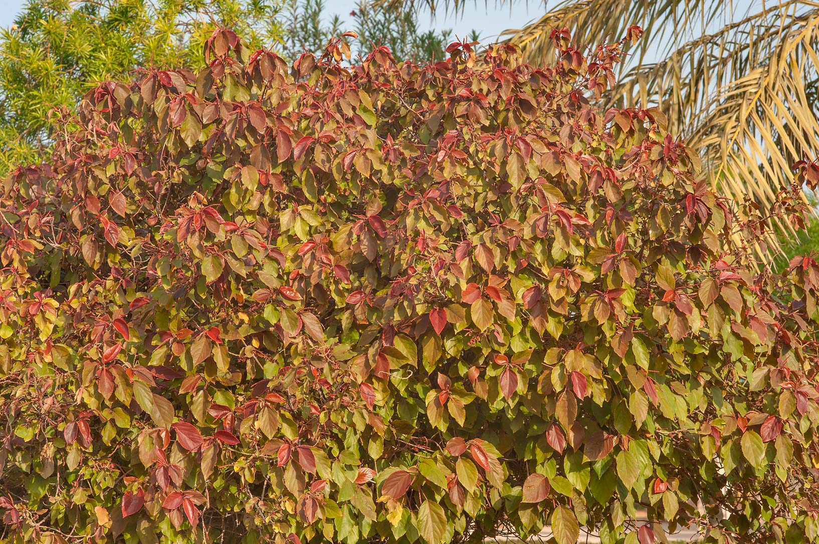 Acalypha wilkesiana plant with reddish leaves...City Park. Ruwais, Northern Qatar